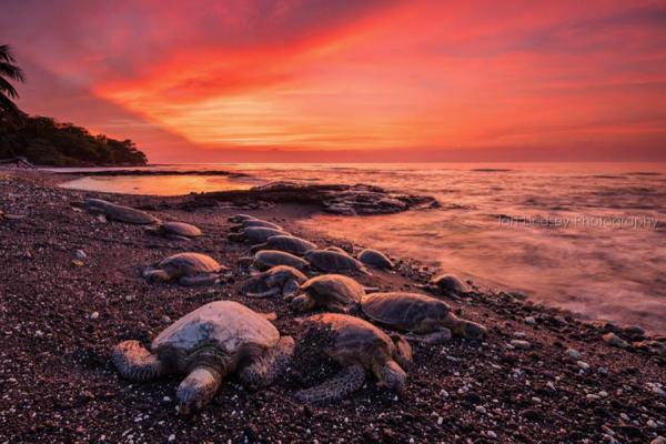 Sea Turtles Sunset