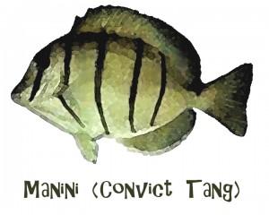 Manini Hawaiian Reef Fish